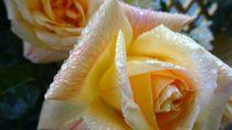 Rose im Regen  by Art of Irene S.