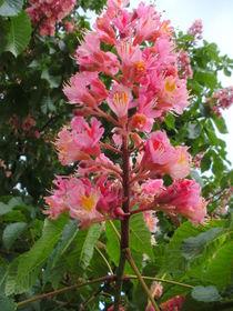 Rote Kastanienblüte by rosenlady