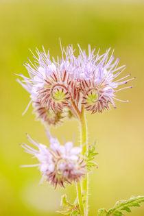 Lila Blume von sven-fuchs-fotografie