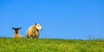 Zwei Schafe auf einem Deich von sven-fuchs-fotografie