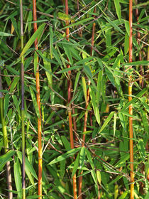 Bambus jiuzhaigou, fargesia, bamboo von Dagmar Laimgruber