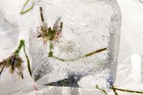Grasblüte in Eis 1 von Marc Heiligenstein