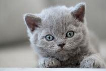 Selkirk Rex Kitten / 8 by Heidi Bollich