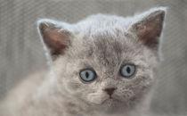 Selkirk Rex Kitten / 7 by Heidi Bollich