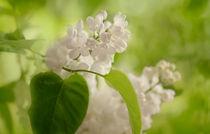 Frühlingsduft / 2 von Heidi Bollich