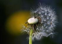 Dandelion by Irmtraut Prien
