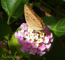 Butterfly-lense