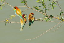 Prigoria (Merops apiaster) by Sorin Lazar Photography