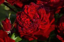 Red rose with waterdrops by paulsergiu