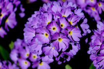 Purple-shootingstars-flower-1-of-1
