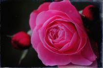 red rose I von joespics