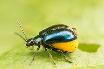 Blauer-erlenblattkaefer-weiblich