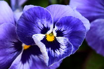 Blue Pansy by milla