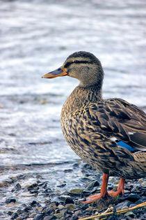 Lone Mallard Duck von Vicki Field