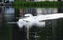 Swans on the Lake von milla