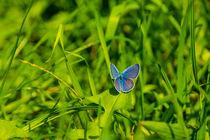 Blauer Schmetterling im Gras von Sonja  Bausr