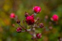 Wildrose by Sonja  Bausr