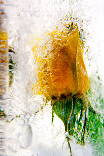 Yellow rose in ice 2 von Marc Heiligenstein