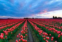Red Sky over Tulips von Mike Dawson