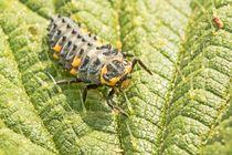 Marienkäferlarve von toeffelshop