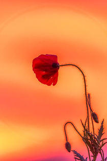 Poppy in the Sunset by Gabriel Codrut Nitescu