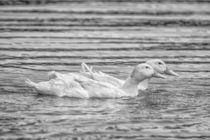 B/W Ducks von Gabriel Codrut Nitescu