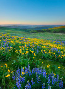Columbia Hills Wildflower Dawn by Mike Dawson