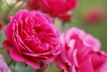 Rosen by lichtbildersalon