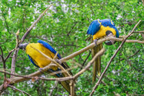 South American Couple of Parrots by Daniel Ferreira Leites Ciccarino