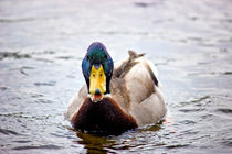Wet-duck