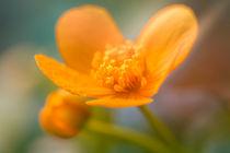 Sumpfdotterblume - Caltha palustris von Peter Eggermann