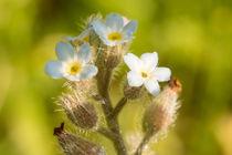 Vergissmeinnicht Blüte  von toeffelshop