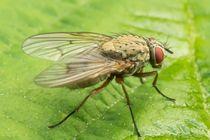 Fliege-2