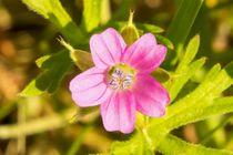 Winzig-kleine pinke Blüte von toeffelshop