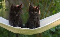 Maine Coon Kittens / 3 von Heidi Bollich