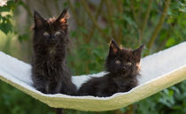 Maine Coon Kittens / 4 by Heidi Bollich