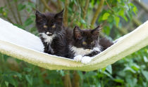Maine Coon Kittens / 5 by Heidi Bollich