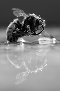 Dying Wasp by milla