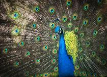 blauer Pfau by Annette Sturm