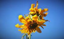 Himmelsbild-sonnenblume