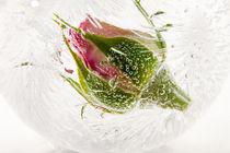 Rose in Eiskugel 1 by Marc Heiligenstein