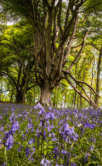 Old tree viewed from the bluebell carpet by Les Mitchell