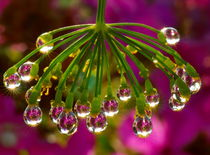 Chandelier of raindrops on the fennel by Yuri Hope