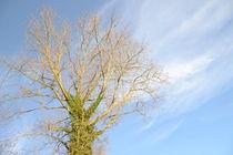 Baumkrone im Himmelbau von Corinna Ruland