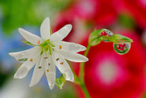 White flower and rain drops von Yuri Hope