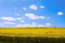 Rapsfeld-mit-strahlend-blauem-himmel-7777