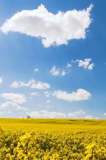 Rapsfeld-mit-strahlend-blauem-himmel-7779