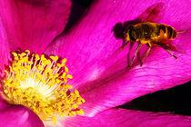 Honigbiene-auf-rosa-bluete-mit-gelben-staubgefaessen-7762