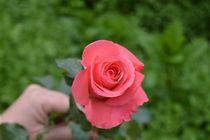 Pink Rose by martim-rocha-photographer