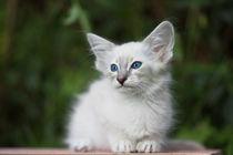 Balinesen Kitten / 35 von Heidi Bollich